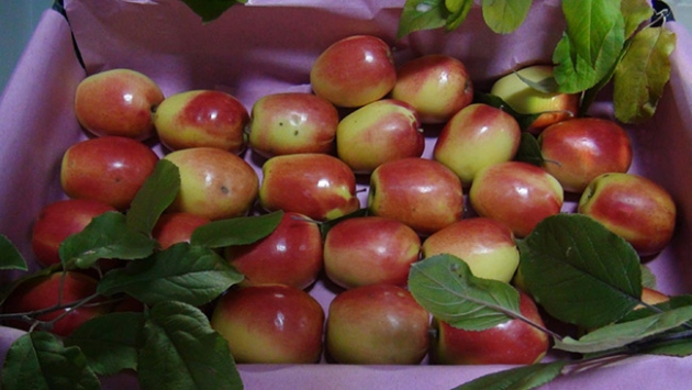 Kağızman'ın uzun elmasına yoğun talep