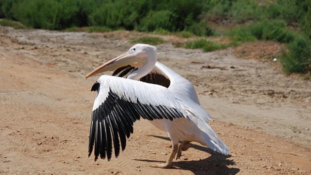 Yaralı pelikan tedavi edilerek doğaya bırakıldı