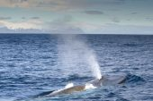 Güney Georgia'da 'şaşırtıcı' mavi balina sayıları